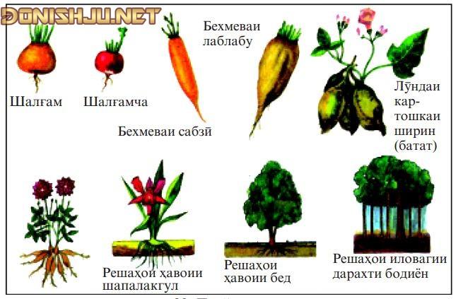 Маълумот дар бораи РЕША (ботаника)