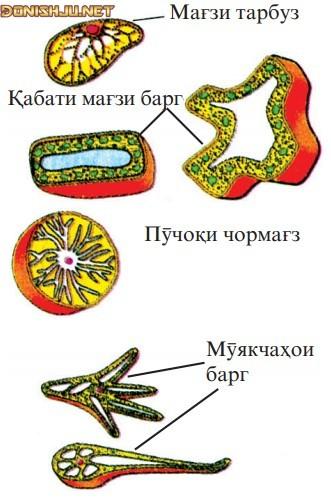 Гуногуншаклии ҳуҷайраи рустанӣ (растанӣ)