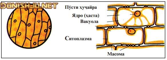 Сохти ҳуҷайраи рустанӣ (растанӣ)