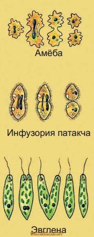 Тарзи ҳаётгузаронии ҳайвонҳои якҳуҷайра