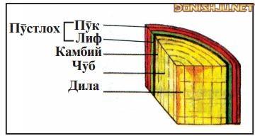 Расми 65. Қабатҳои танаи дарахти ба наздикӣ аррашуда